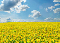 sunflower-field-wallpaper-10
